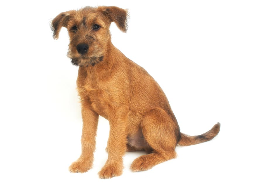 Irish Terrier: Photo #4