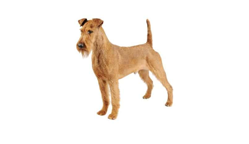 Irish Terrier: Photo #5