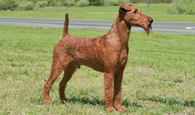 Irish Terrier: Photo #6