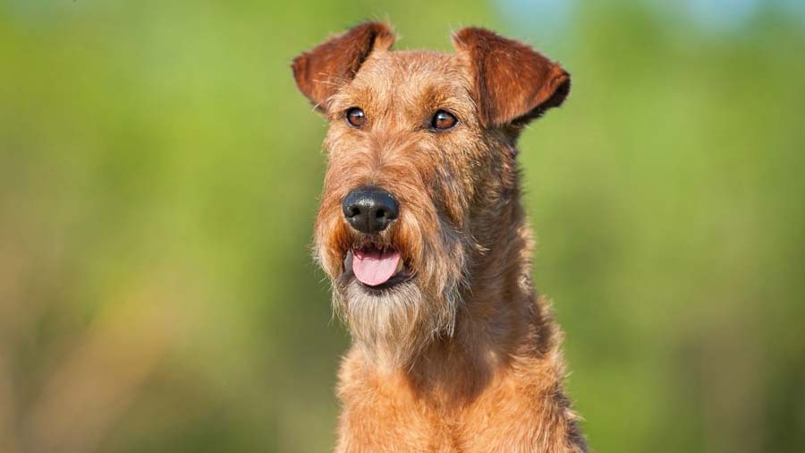 Irish Terrier: Photo #7
