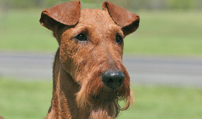 Irish Terrier: Photo #8