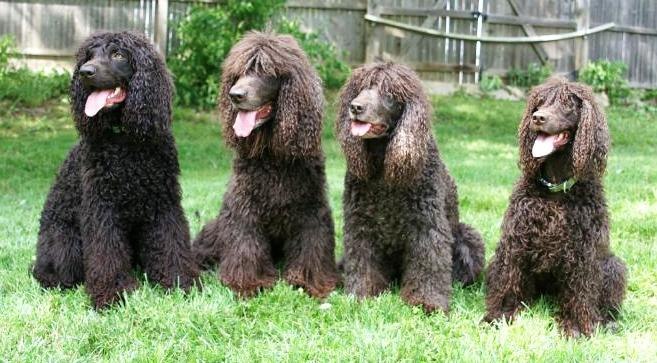 Irish Water Spaniel , Information, Photos, Characteristics