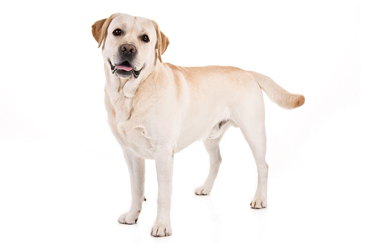 Labrador Retriever: Photo #1
