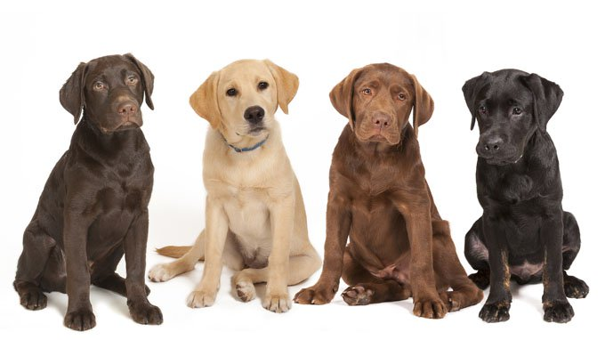 Labrador Retriever: Photo #2