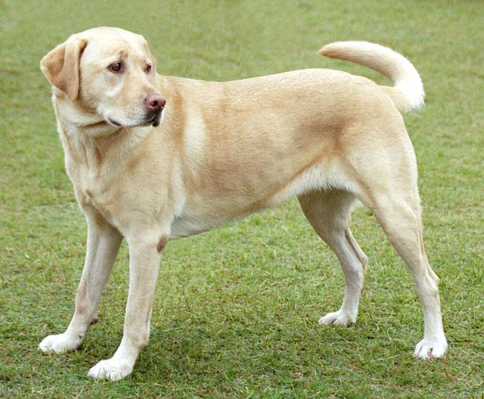 Labrador Retriever: Photo #4