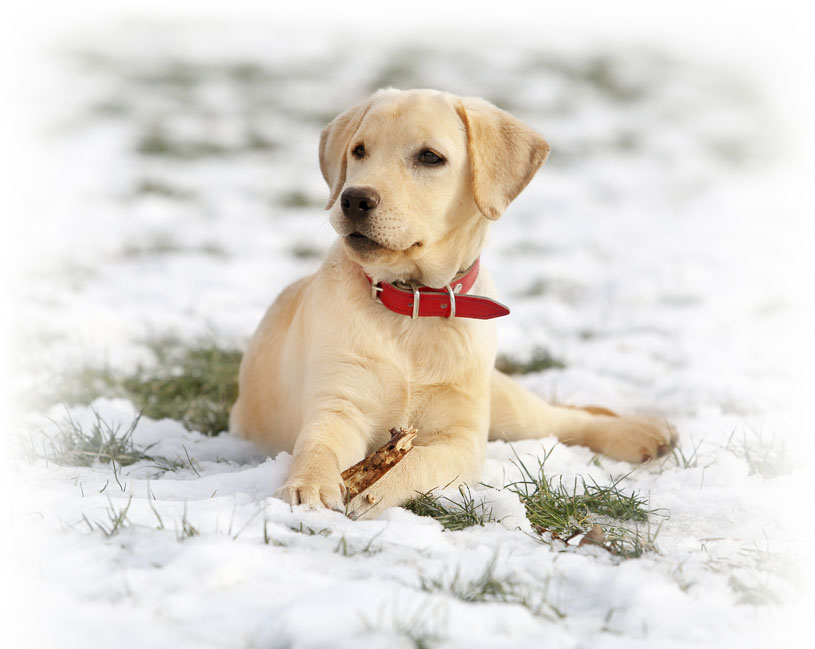 Labrador Retriever: Photo #5
