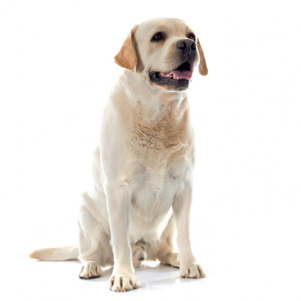 Labrador Retriever: Photo #6