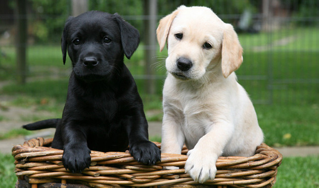 Labrador Retriever: Photo #8