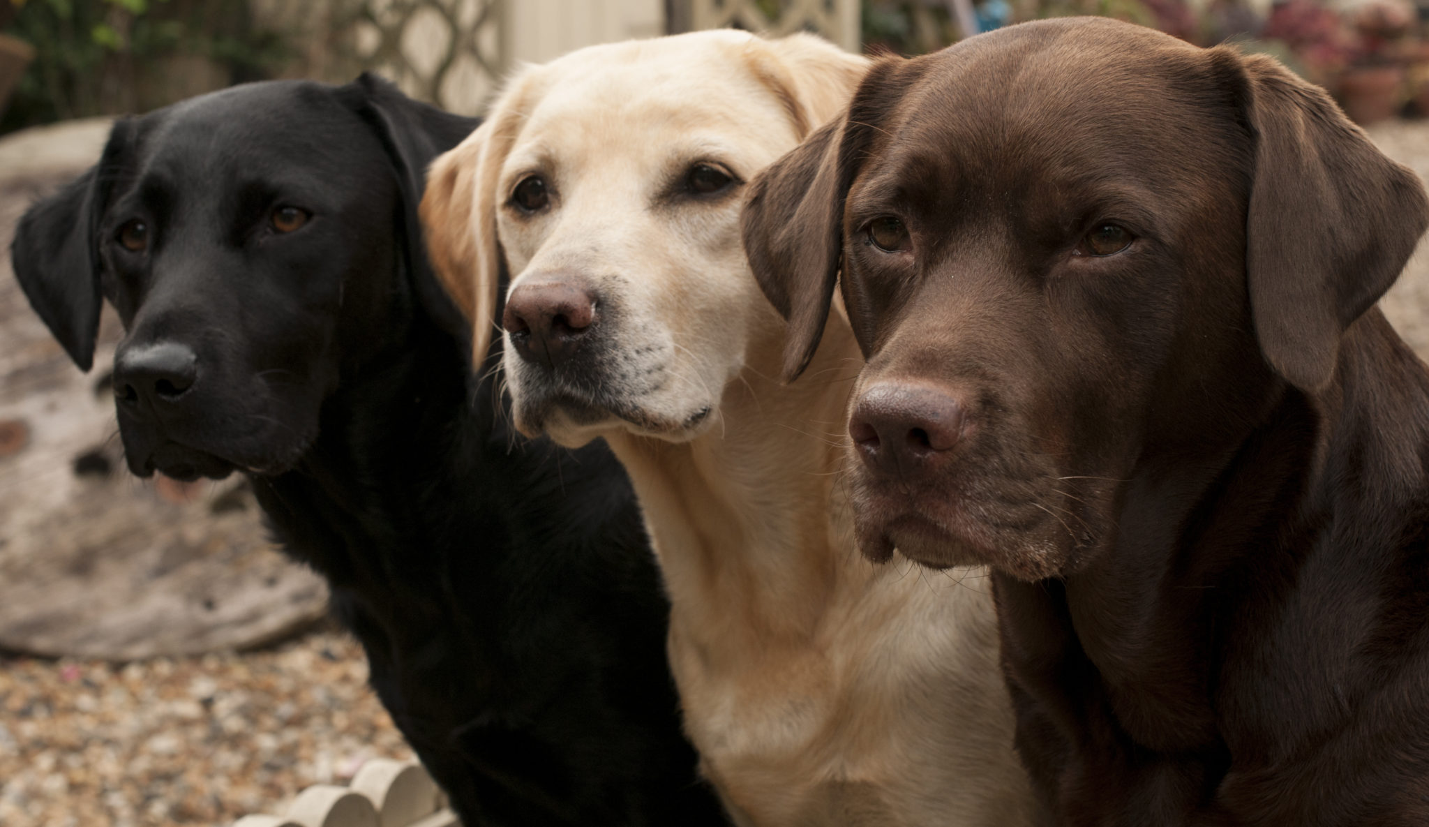 Labrador Retriever: Photo #9
