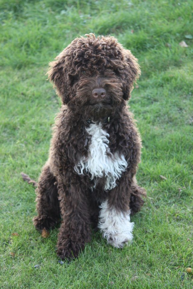 Lagotto Romagnolo: Photo #10