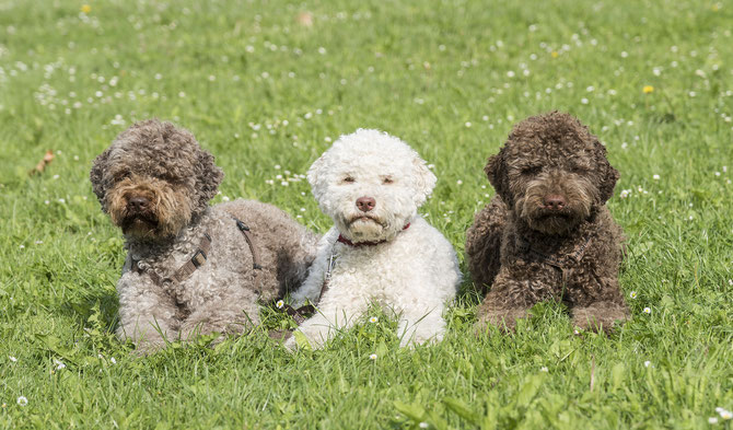 Lagotto Romagnolo: Photo #11
