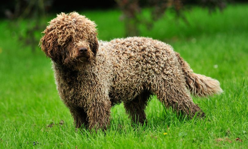 Lagotto Romagnolo: Photo #12