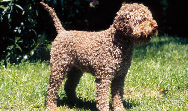 Lagotto Romagnolo: Photo #13