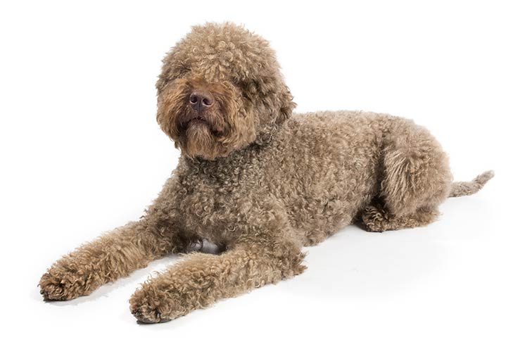 Lagotto Romagnolo: Photo #1