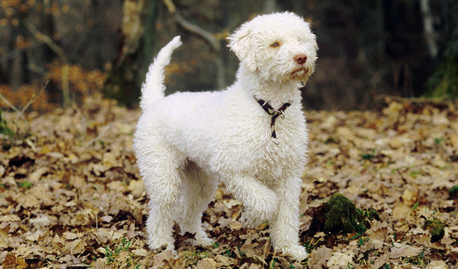 Lagotto Romagnolo: Photo #2