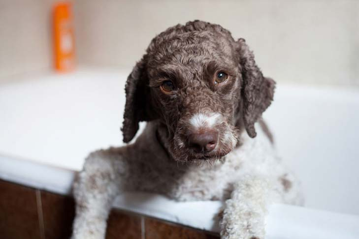 Lagotto Romagnolo: Photo #3