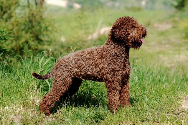Lagotto Romagnolo: Photo #4