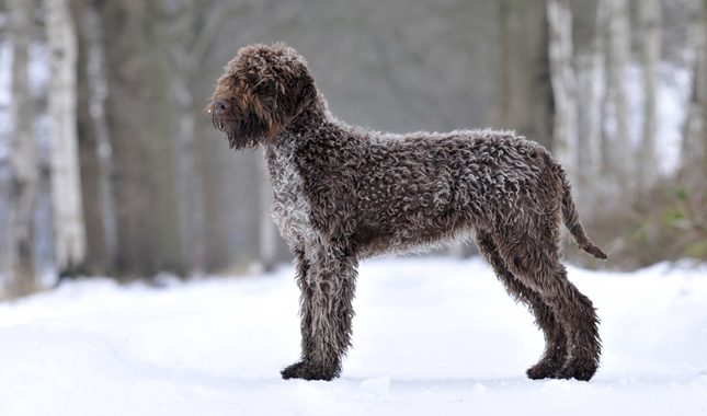 Lagotto Romagnolo: Photo #6