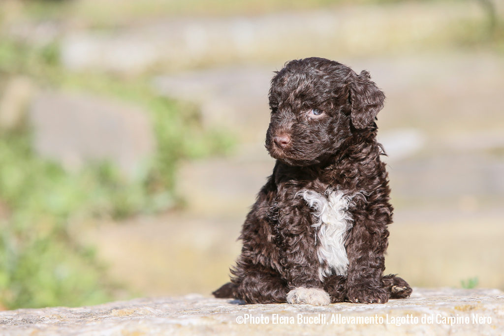 Lagotto Romagnolo: Photo #8
