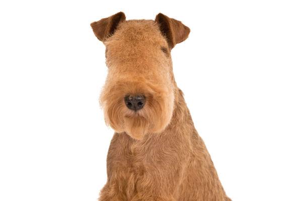 Lakeland Terrier - Information, Photos, Characteristics, Names