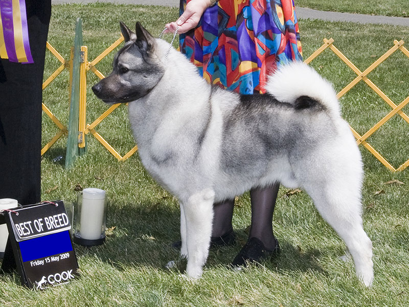 Norwegian Elkhound: Photo #10