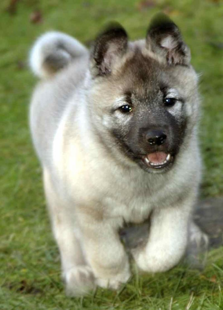 Norwegian Elkhound: Photo #11