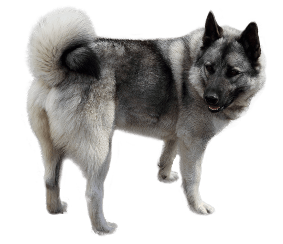 Norwegian Elkhound: Photo #12