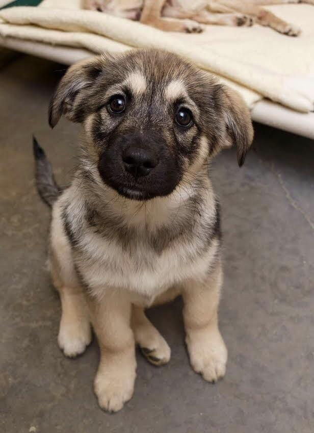 Norwegian Elkhound: Photo #13