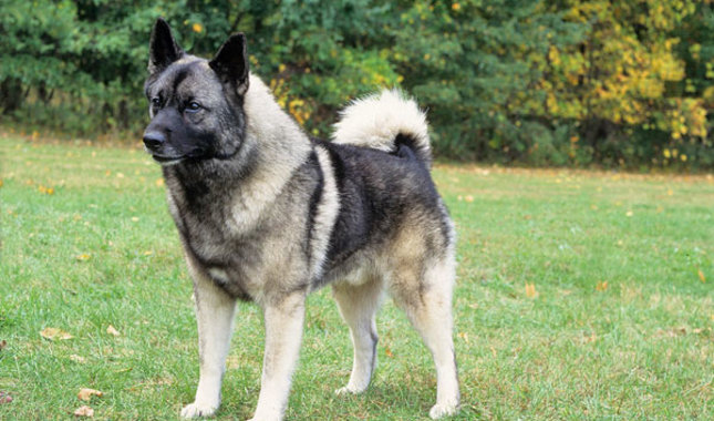 Norwegian Elkhound: Photo #2