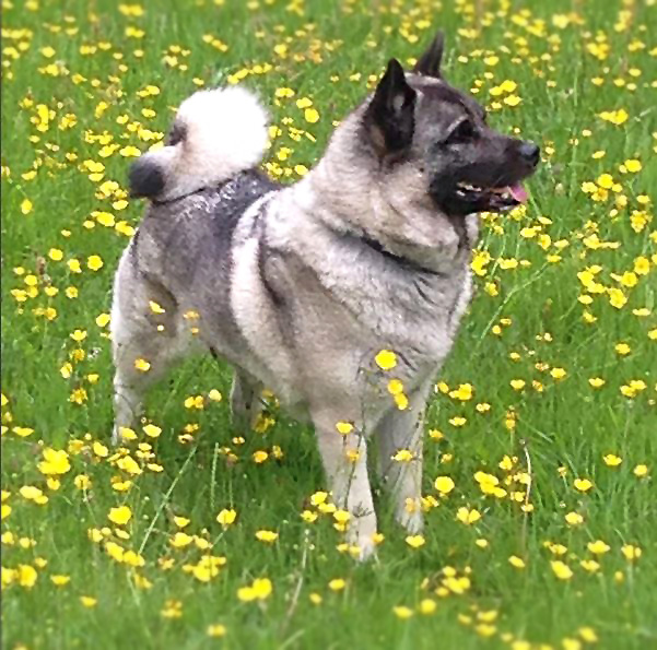 Norwegian Elkhound: Photo #3