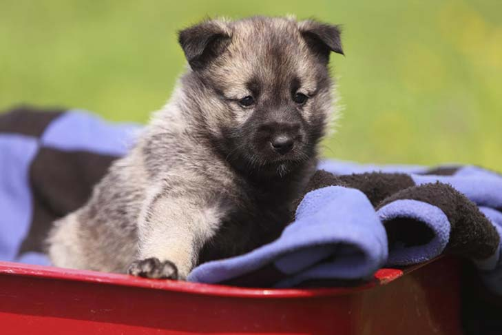 Norwegian Elkhound: Photo #4