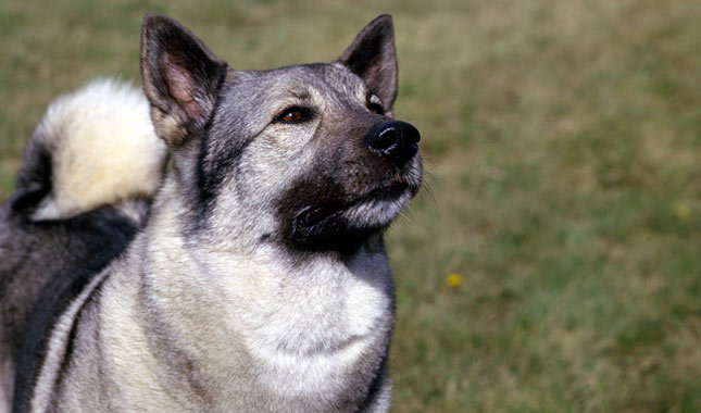 Norwegian Elkhound: Photo #5