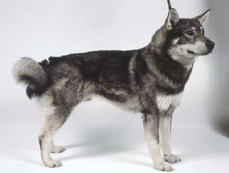 Norwegian Elkhound: Photo #6
