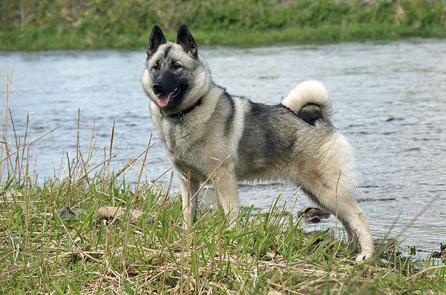 Norwegian Elkhound: Photo #9