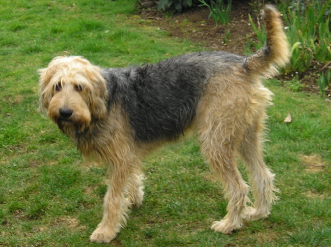 Otterhound: Photo #10