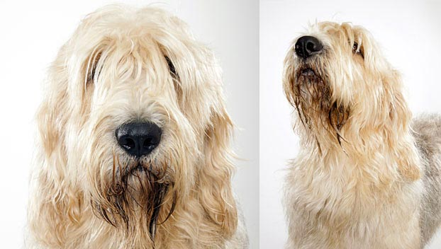 Otterhound: Photo #13