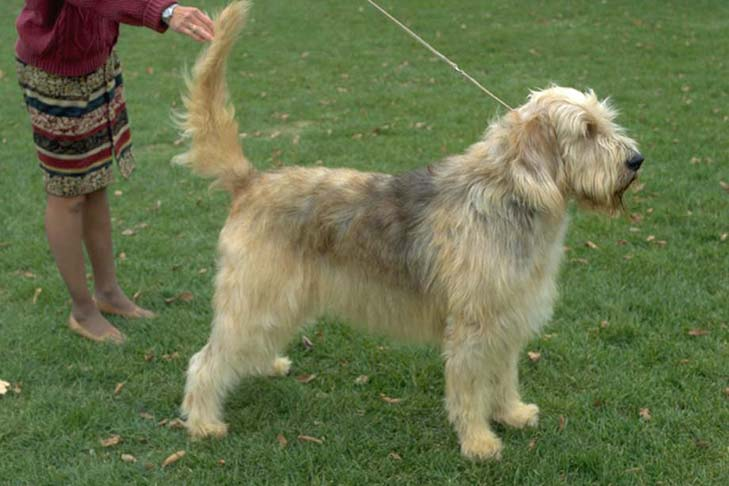 Otterhound: Photo #14