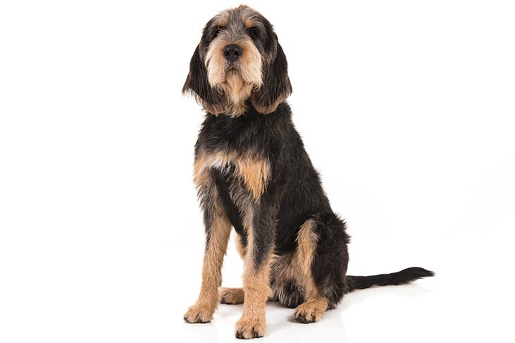 Otterhound: Photo #1