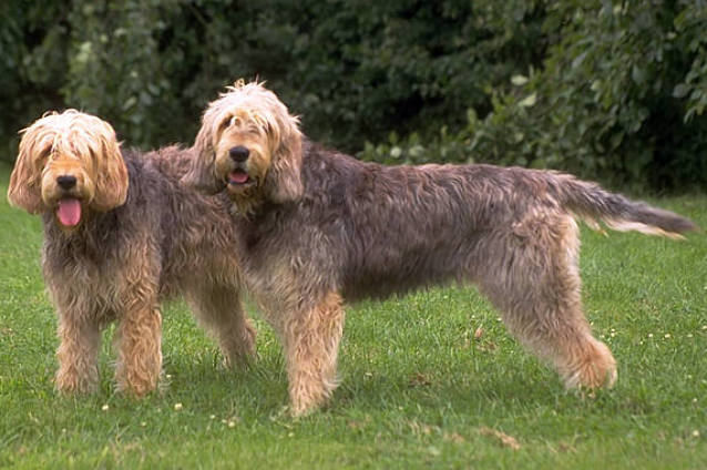 Otterhound: Photo #2