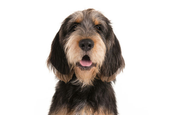 Otterhound: Photo #3