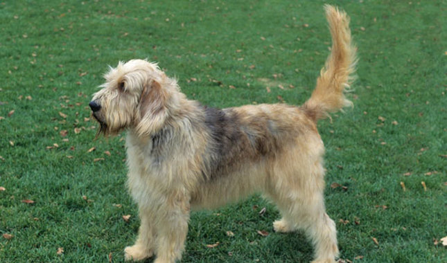 Otterhound: Photo #4
