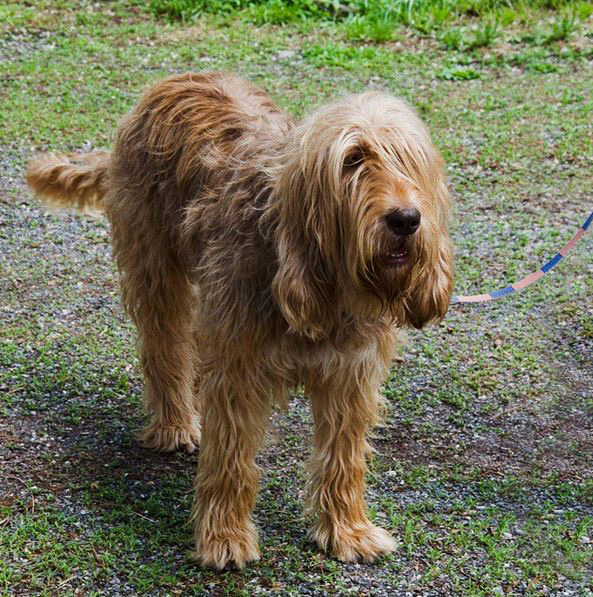 Otterhound: Photo #5
