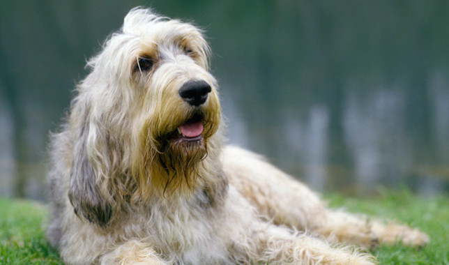 Otterhound: Photo #6
