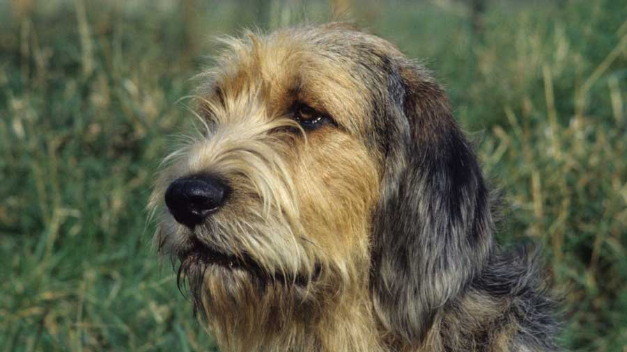 Otterhound: Photo #7
