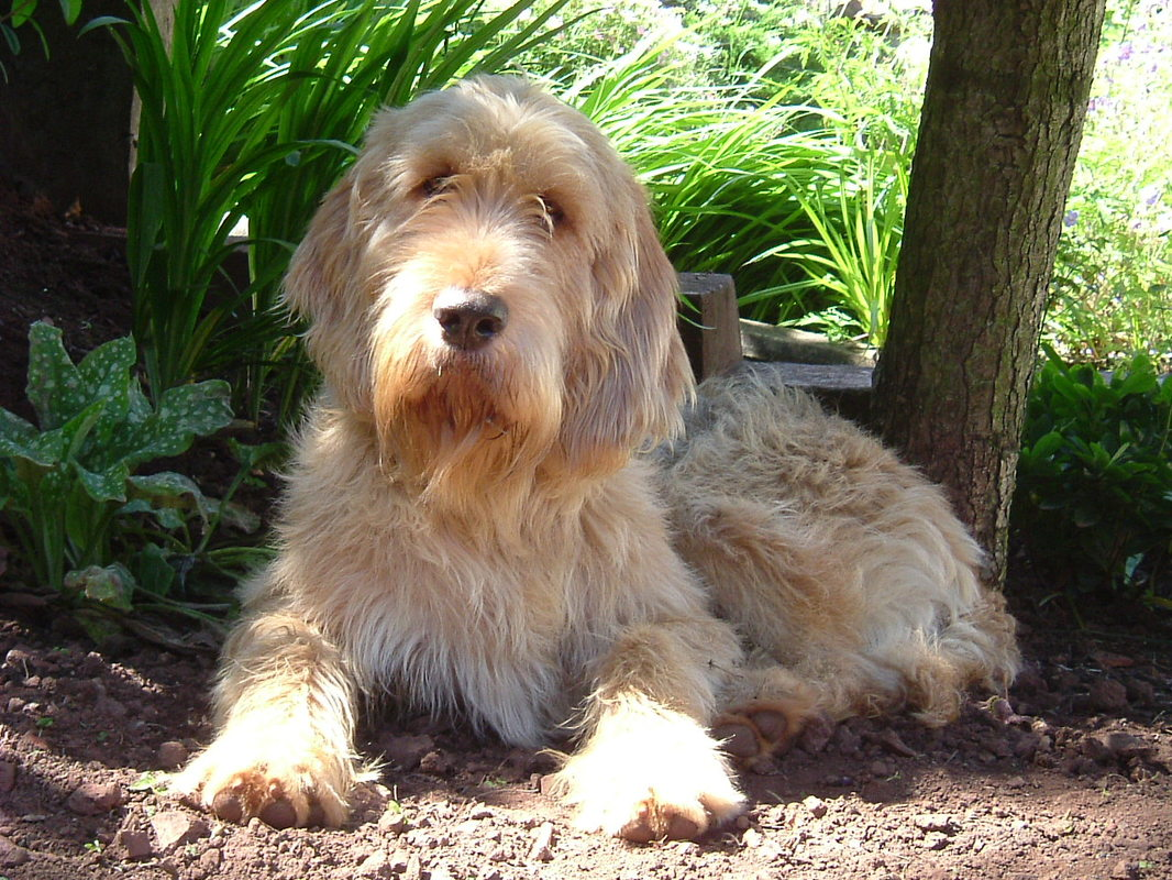 Otterhound: Photo #8