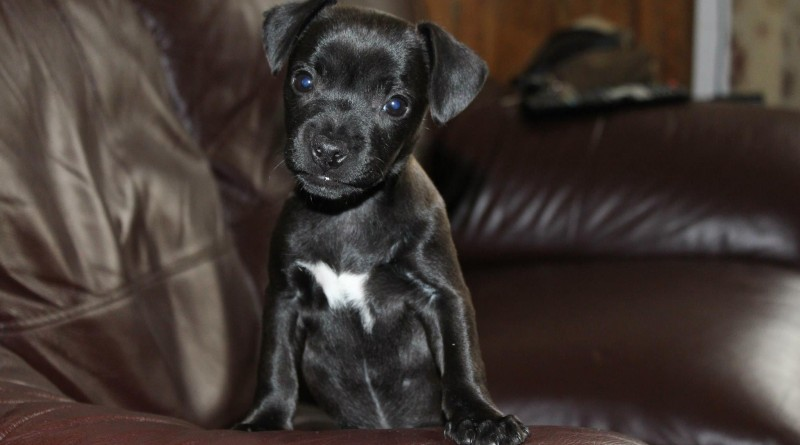 Patterdale Terrier: Photo #6