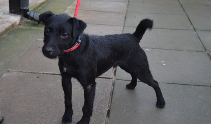 Patterdale Terrier: Photo #7