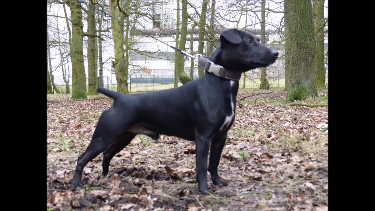Patterdale Terrier: Photo #3