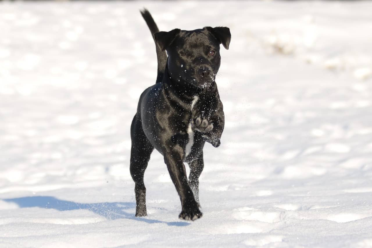 Patterdale Terrier: Photo #4