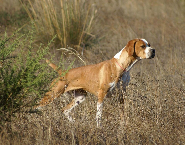 Portuguese Pointer: Photo #10